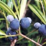Plant ID service, Podocarpus elatus, Identifying plants Queensland rainforest, Kuranda Conservation