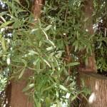 Podocarpus elatus, Identifying plants Queensland rainforest, Kuranda Conservation