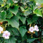 weed, weeds, kurandaConservation, Thunbergia laurifolia