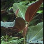 weeds, weed, kurandaConservation, Miconia calvescens noxious weed rainforest of Australia