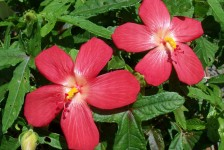 aboutUs, kurandaConservation, Plant identification, Hibiscus splendens, Helen's Hibiscus