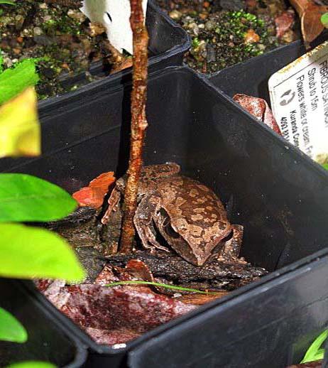 Kuranda Conservation, Community Nursery, Grow some frogs