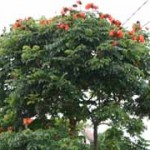 African Tulip Tree, weeds, weed, kurandaConservation, weedNorthQueensland