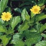 Singapore daisy, Sphagneticola trilobata, kurandaConservation, weeds, weed, weedNorthQueensland, weedRainforest