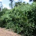 kurfandaConservation, thunbergiaLaurifolia, weed, weeds, weed of North Queensland