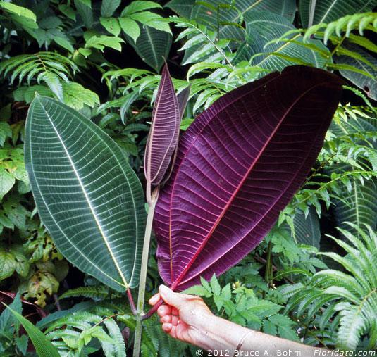 miconiaCalvescens, weed, weeds, rainforest weed, kurandaConservation