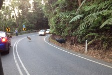 Cassowary family on the Kuranda Range Road, May 2014. kCons, cassowary, kurandaCassowaries, kuranda