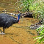 newKurandaCassowaries,kurandaConservation, slider, kurandaConservationCommunityNursery, Southern Cassowary, cassowary, Casuarius casuarius, johnsonii, b, wild, detail, casso, Kuranda, body, full length, creek, water, drink, drinking, Kuranda Conservation Community Nursery, KCons,