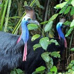 kurandaConservation, kCons, Casuarius casuarius, johnsonii, Southern Cassowary, Kuranda, KCons, cassowary, male, female, pair, couple, Dad, side view, casque, skirt, wattle, rainforest, Kuranda, wet tropics, world heritage area, endangered, vulnerable,