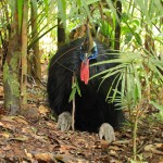 kurandaConservation, kCons, kuranda, Casuarius casuarius, johnsonii, Southern Cassowary, Kuranda, KCons, cassowary, male, Dad, front view, resting, sitting, casque, skirt, feet, rainforest, Kuranda, wet tropics, world heritage area, endangered, vulnerable,