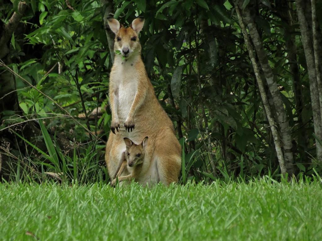Agile wallaby Macropus agilis, kurandaConservation, kCons, kuranda,