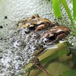 kurandaConservation, kuranda, kCons, Lymnodynastes peronii, peroni, striped marsh frog, frog, amphibian, mating, pair, couple, eggs, spawn, reproduction, rainforest, Kuranda, KCons, Kuranda Conservation, nursery, wet tropics, rainforest,