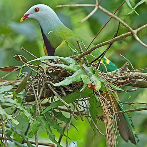 Wompoo Fruit-dove, Ptilinopus magnificus, kurandaConservation, kCons, kuranda, rainForestBirds