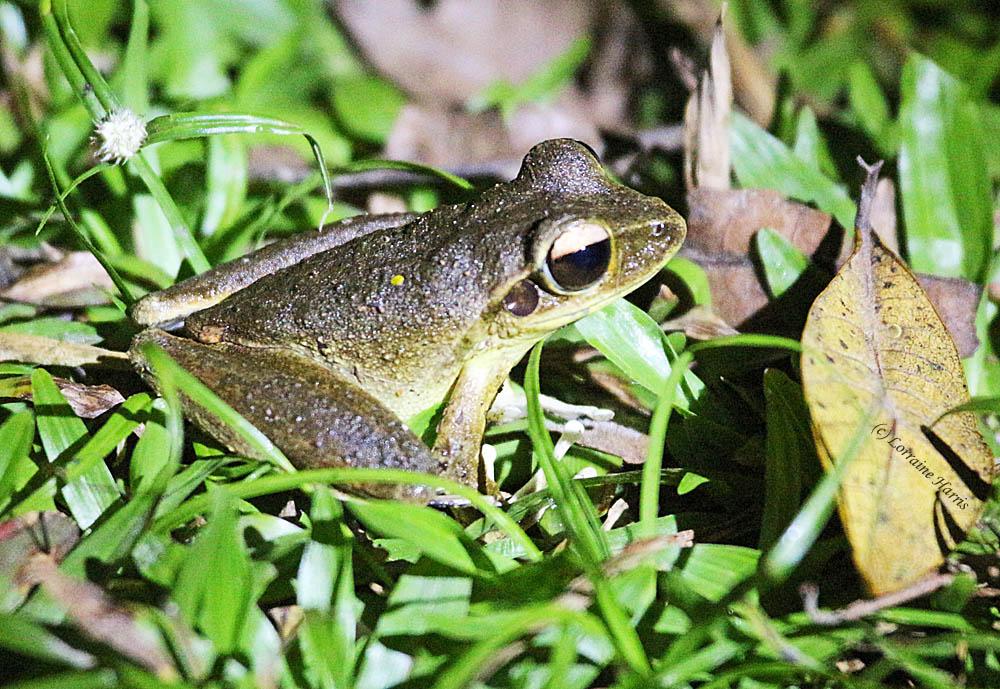 kurandaConservation, kCons, kuranda, kurandaFrogs, Litoria lesueuri, stony creek, frog, amphibian, KCons, Kuranda Conservation, conservation, nursery, rainforest, wet tropics,