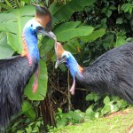 Southern Cassowary, cassowary, casso, Casuarius casuarius johnsonii, pair, male, Dad, adult, female, Wattle, Harriet, neck, head, casque, KCons, Kuranda Conservation, Kuranda, wet tropics, world heritage area, bird, wildlife,