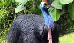 kurandaConervation, kurandaConservationCommunityNursery, Southern Cassowary, cassowary, casso, Casuarius casuarius johnsonii, adult, female, Wattle, Harriet, neck, head, casque, KCons, Kuranda Conservation, Kuranda, wet tropics, world heritage area, bird, wildlife,