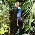 Southern Cassowary, cassowary, casso, Casuarius casuarius johnsonii, adult, female, Wattle, Harriet, neck, head, casque, KCons, Kuranda Conservation, Kuranda, wet tropics, world heritage area, bird, wildlife,