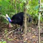 kurandaConservation, Southern Cassowary, cassowary, casso, Casuarius casuarius johnsonii, adult, female, Wattle, Harriet, neck, head, casque, KCons, Kuranda Conservation, Kuranda, wet tropics, world heritage area, bird, wildlife,