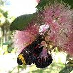 kurandaConservation, blackJezebel, community, nursery, plant, native, flower, nectar,