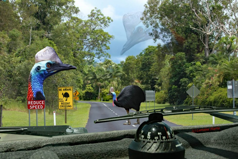 southern, cassowary, casuariusCasuarius, conservation, beAware, takeCare, kurandaRange, kurandaConservationCommunityNursery, kcons, kuranda, traffic, app, report, sighting, preserve, wildlife, wetTropicsWorldHeritageArea, tropics, tropical, road, hazard, highway, endangered species, wildlife, wild, photo, lorraineHarris, aussiegypsy,