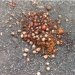 kCons, kurandaConservation, southernCassowary, scat, poo, dung, droppings, report, sighting,