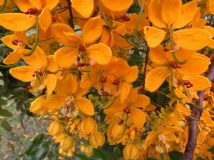 Cassia sp. Paluma Range, Kuranda Conservation, Plant a native tree, rainforest tree north queensland