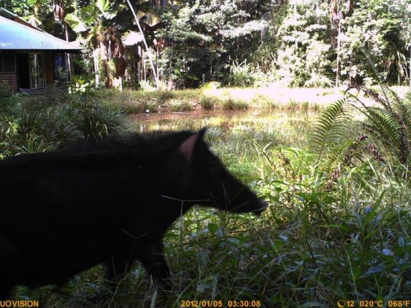A Perfect Feral Pig Story