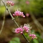 Melicope elleryana (Pink euodia), plantALocalNative, KurandaConservation, Kuranda