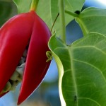 kurandaConservation, adeniaHeterophylla, food plant