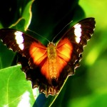 kCons, kurandaConservation, Red Lacewing Butterfly