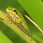 kurandaConservation, kCons, kurandaFrogs, Litoria fallax, Dwarf green tree frog, frog, amphibian, green, green reed frog, KCons, Kuranda, Kuranda Conservation, nursery, conservation, wet tropics,