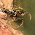 kCons, kurandaConservation, kuranda, Lymnodynastes peronii, peroni, striped marsh frog, frog, amphibian, mating, pair, couple, reproduction, rainforest, Kuranda, KCons, Kuranda Conservation, nursery, wet tropics, rainforest,