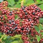 Leea indica, bandicoot berry, cassowary food, food, plant, KCons, Kuranda Conservation, Kuranda, wet tropics, native, shrub, small, plant, rainforest, fnq,