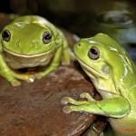 kurandaConswervation, kuranda, kCons, kurandaFrogs, Litoria caerulea, gree frog, amphibian, green, KCons, Kuranda, Kuranda Conservation, nursery, conservation, wet tropics,
