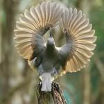 Victoria'sRifleBird, KurandaConservation, FaunaAndTheirFloraFood, BirdOfParadise, endemic, LeeaIndica, PtilorisVictoriae, AthertonTablelands, queensland, WorldHeritageWetTropics, australia, fnq, tropics, tropical, juvenile, male, CourtshipDisplay,