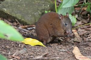 Hypsiprymnodon moschatus, musky rat-kangaroo, rat, kangaroo, KCons, Kuranda Conservation, Kuranda, wet tropics, world heritage, macropod, rainforest,