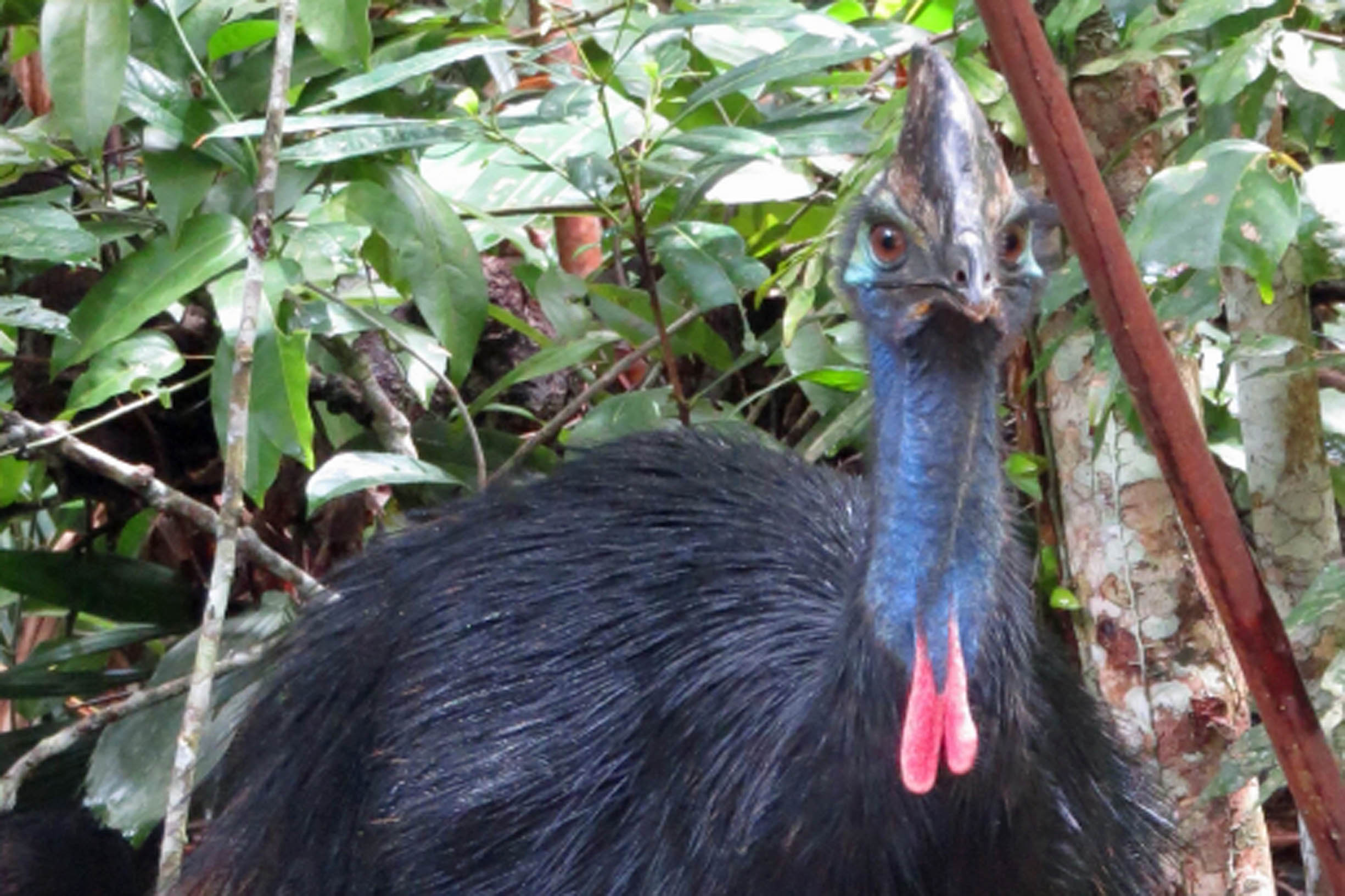 WELCOME BACK CASSOWARY DAD, and hi to CHICK AND BUNDA