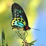 bottlebrush, callistemon, FoodSource, KurandaConservation, CommunityNursery, kuranda, qld, queensland, flora, food, plant, planting, native, endemic, butterfly, CairnsBirdwing, insect, lepidoptera, feeding, nectar, colourful, exotic, AthertonTablelands, CairnsHighlands, WorldHeritage, WetTropics, tropics, tropical, fnq, far, north, australia, australian, backyard, garden, gardening, nature, outdoors, conservation, replanting,
