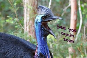 southern, cassowary, casuariusCasuarius, wild, wildlife, endangered, preservation, conservation, endangered, animal, native, habitat,
